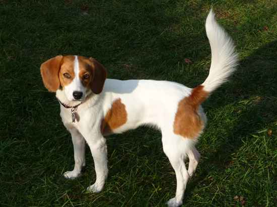 Papeagle Papillon Beagle Mix Info History Temperament