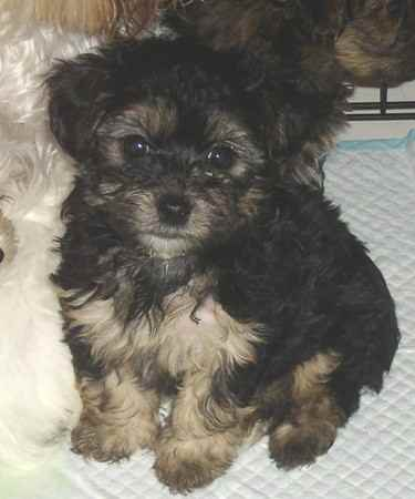 silky poo silky terrier x poodle info puppies pictures
