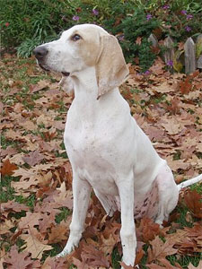 Billy Dog Info, History, Temperament, Training, Puppy, Pictures