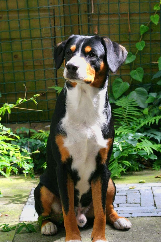 Entlebucher Mountain Dog Puppies For Sale