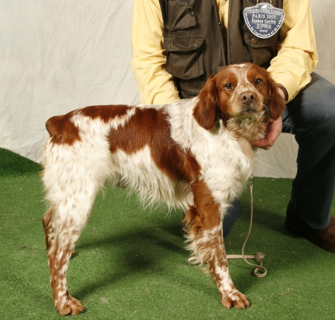 French Brittany Info History Temperament Training