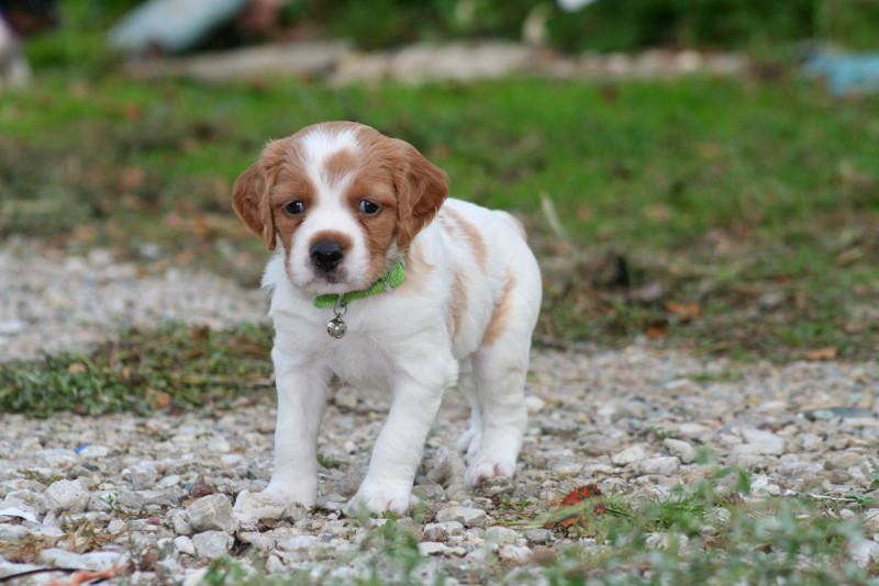 French Brittany Info History Temperament Training Puppy Pictures