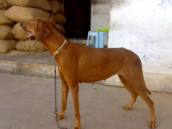 Combai Dog Info, History, Temperament, Training, Puppy, Pictures