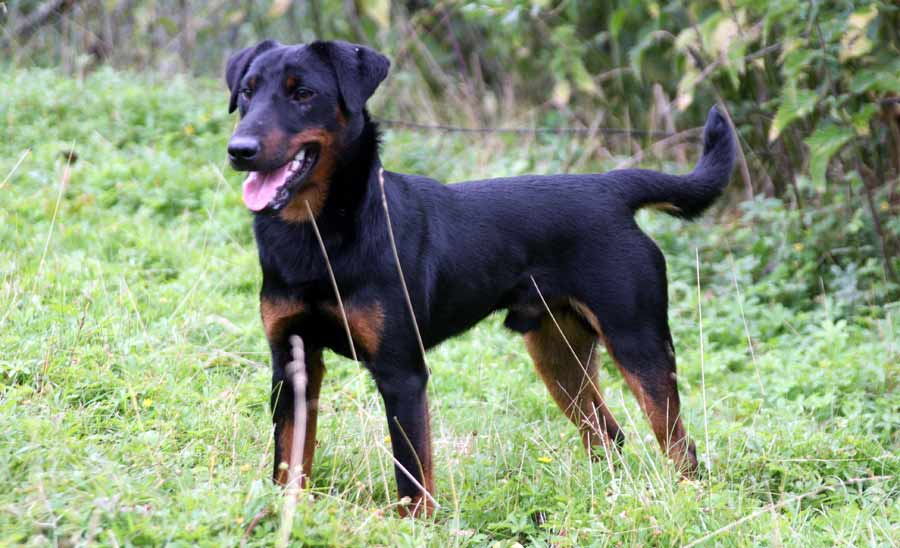 Armant Dog For Sale