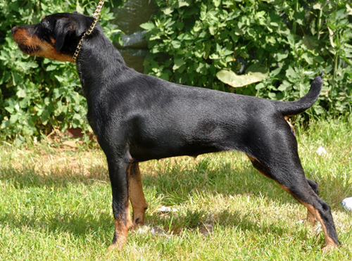 German Jagdterrier Hunting Dog Info Puppies Pictures