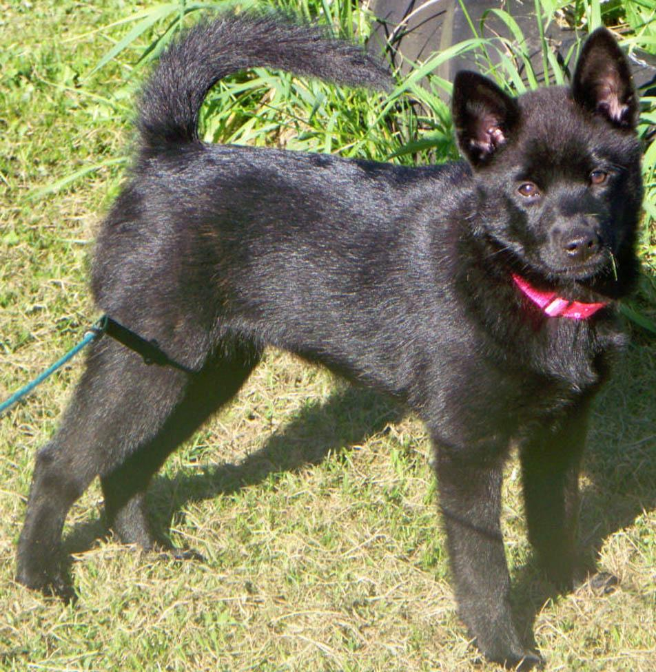 Black Kai Ken Dog