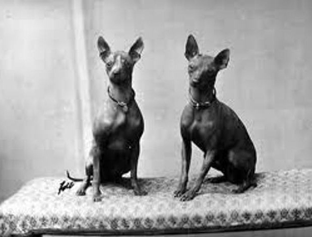 Abyssinian Sand Terrier Dog Info History Temperament