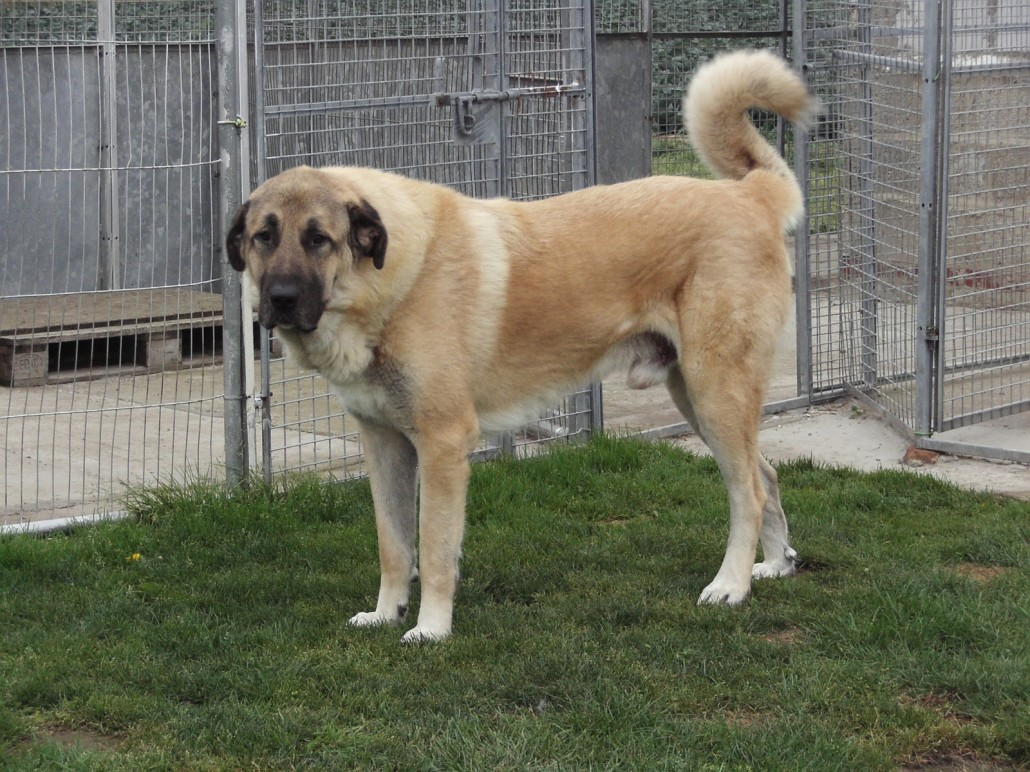Anatolian Shepherd Dog Info, History, Temperament ...