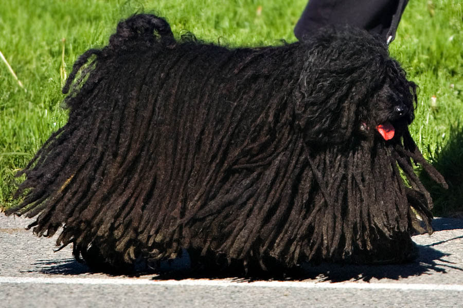 Dog Breed With Thick Hair Curly Tail Medium Size