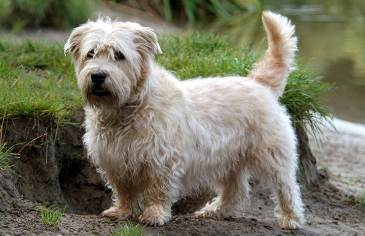Glen of imaal terrier info temperament puppies pictures terrier glen of imaal thecheapjerseys