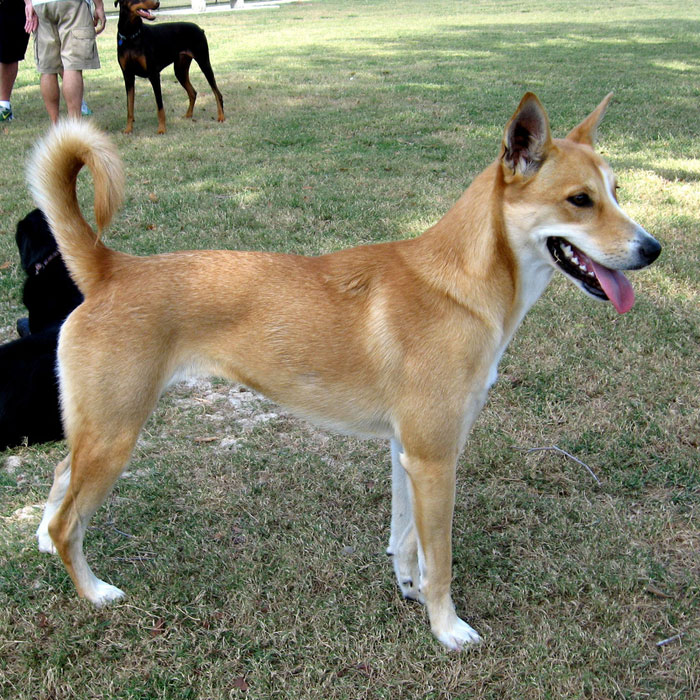 Carolina Dog Breed Temperament