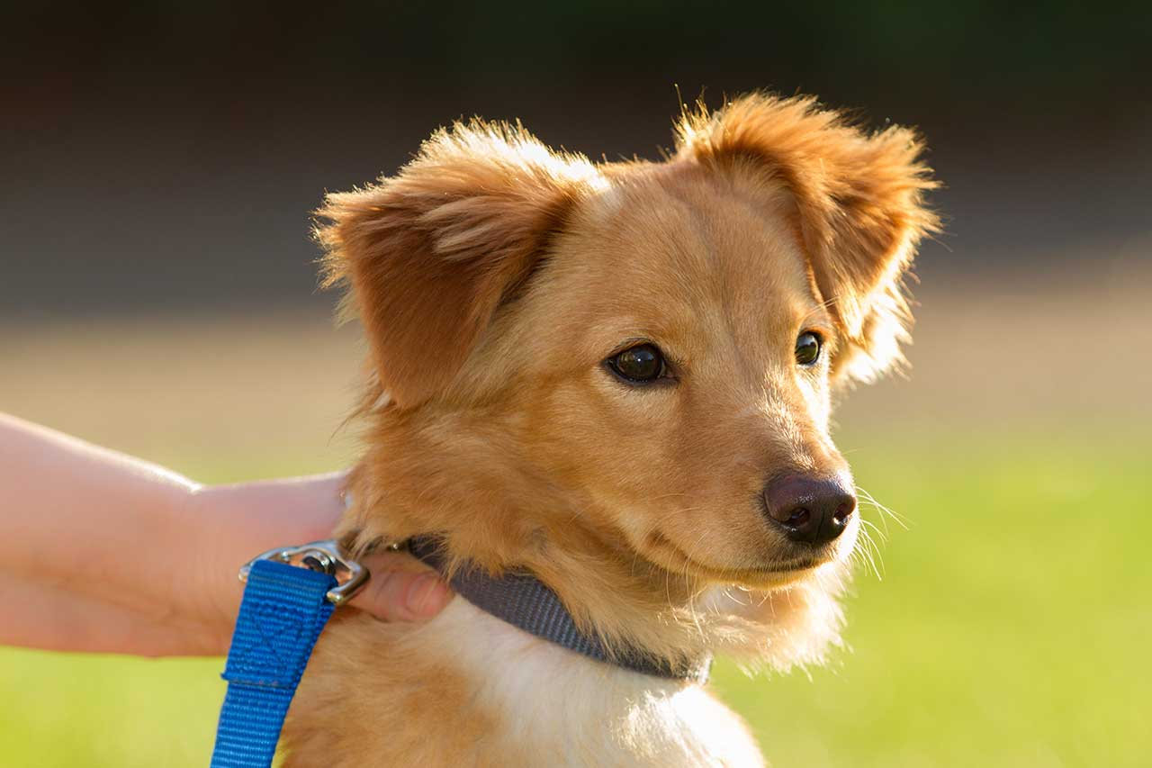 Golden Dox (Golden Retriever X Dachshund Mix) Info ...