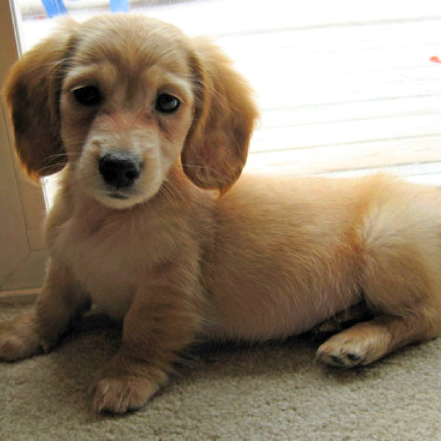 Golden Dox Golden Retriever X Dachshund Mix Info