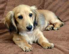 Golden Dox (Golden Weiner)