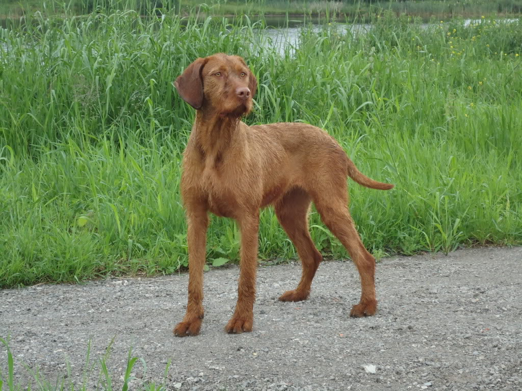Red Short Haired Dog
