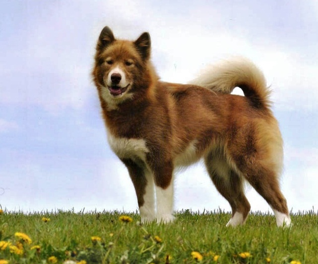 Canadian Eskimo Dog Info, History, Temperament, Training