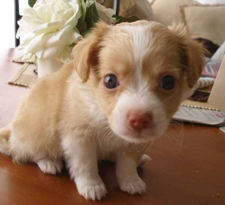 Breed Of Little Brown Dog