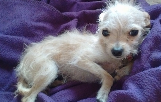 wire haired terrier chihuahua mix wire chiwoxy wire haired terrier x chihuahua info pictures 8967