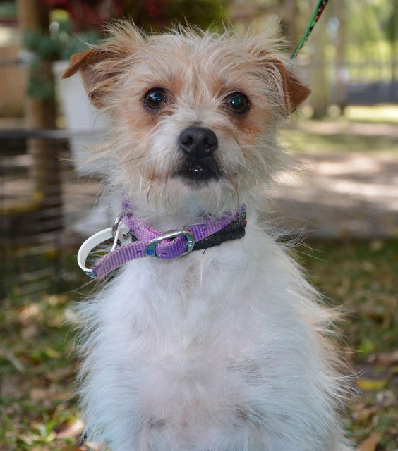 wire haired terrier chihuahua mix wire chiwoxy wire haired terrier x chihuahua info pictures 3749