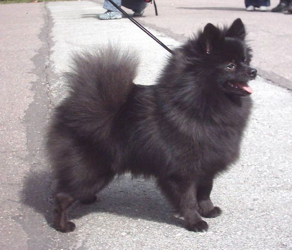 What Does A Samoyed Dog Look Like