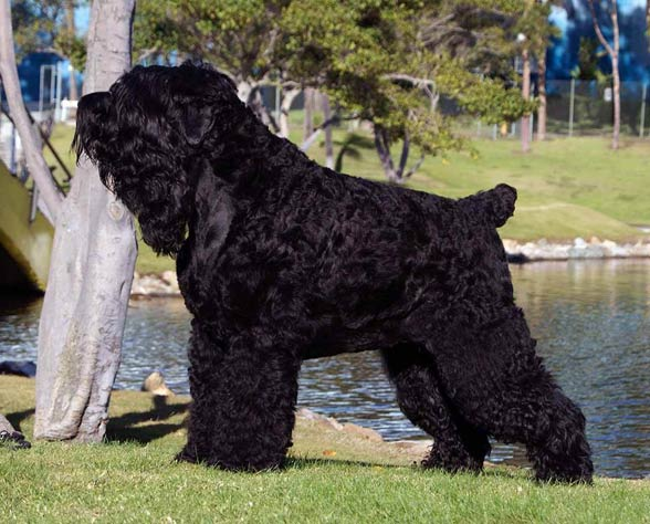 Black Russion Dog Breed