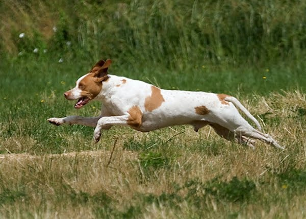 english-pointer-pointing