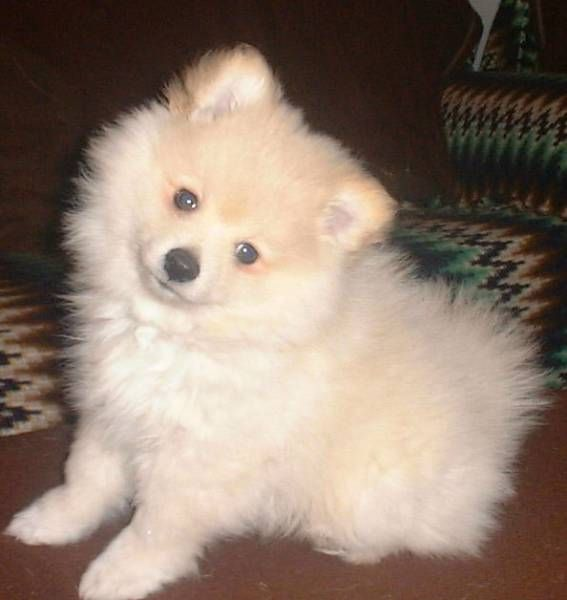 German Spitz Info Temperament Puppies