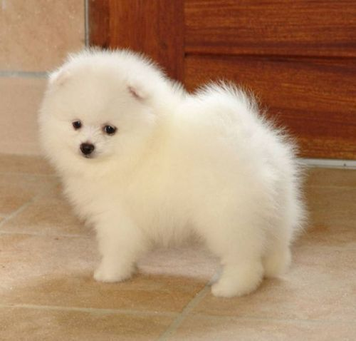 Mini Spitz Puppy Goldenacresdogs