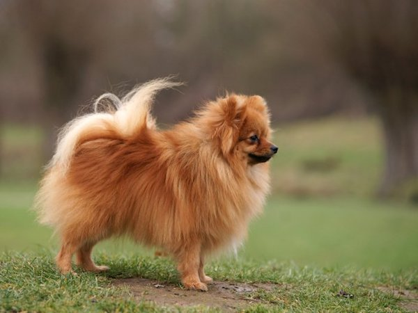 giant pomeranian german spitz info temperament puppies life span pictures 3200