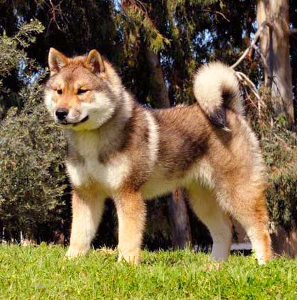 Shikoku Dog (Shikoku Ken) Info, Temperament, Puppies, Pictures White Wolf Puppies