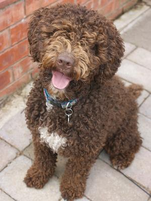 Spanish Water Dog Info Temperament Puppies Pictures