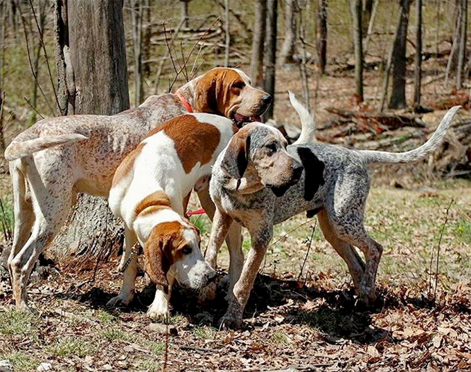 American English Coonhound (Redtick Coonhound) Info, Pictures