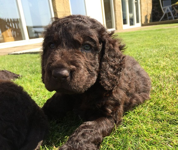 Irish Water Spaniel Info, Temperament, Puppies, Pictures