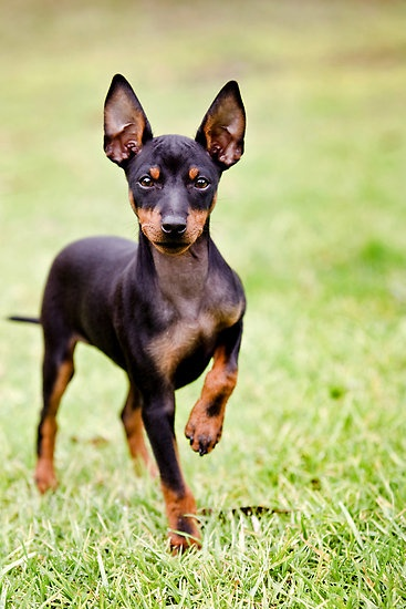 Toy Terrier Small Dogs : Toy manchester terrier info temperament puppies pictures