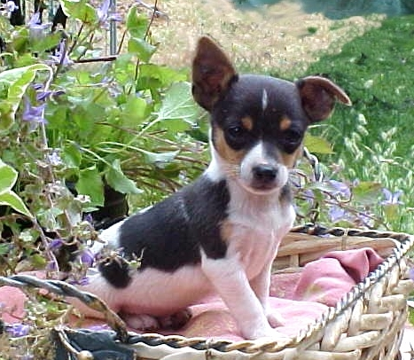Teddy Roosevelt Terrier Info Temperament Puppies Pictures