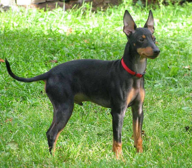 miniature manchester terrier toy manchester terrier info temperament puppies pictures 9348
