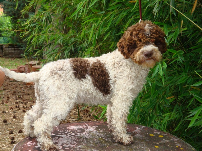 lagotto romagnolo info temperament grooming puppies pictures