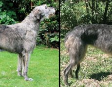 Scottish Deerhound Info Temperament Puppies Pictures