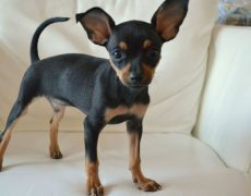 Russian Toy Terrier (Russkiy Toy)