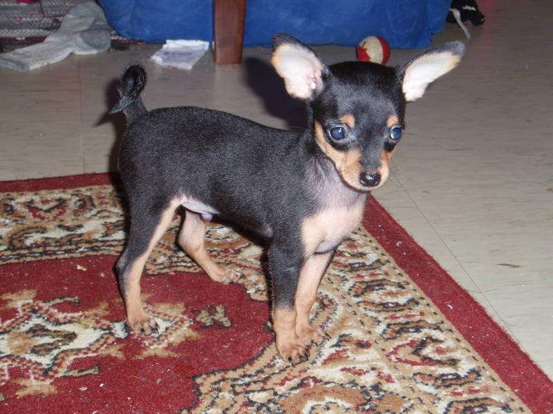 Russian Toy Terrier Info Puppies Temperament Pictures