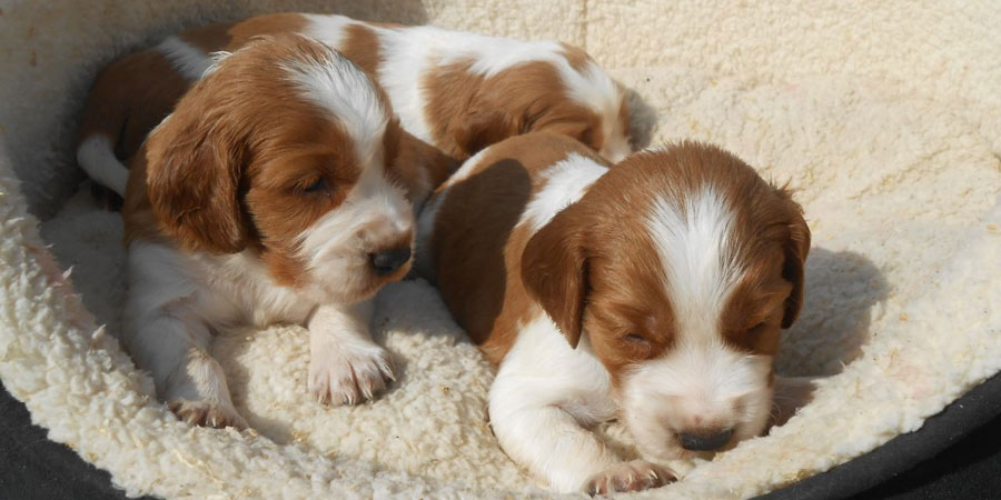 Welsh Springer Spaniel Info, Temperament, Puppies, Pictures