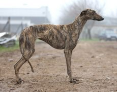 Spanish Greyhound (Galgo Espanol)
