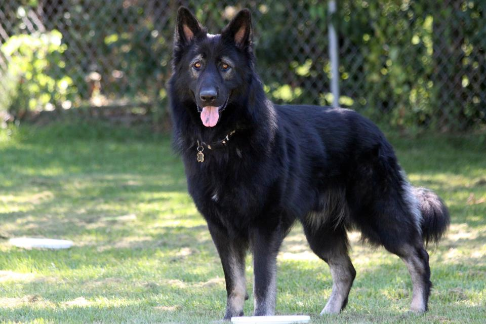 King Shepherd Info, Temperament, Puppies, Pictures