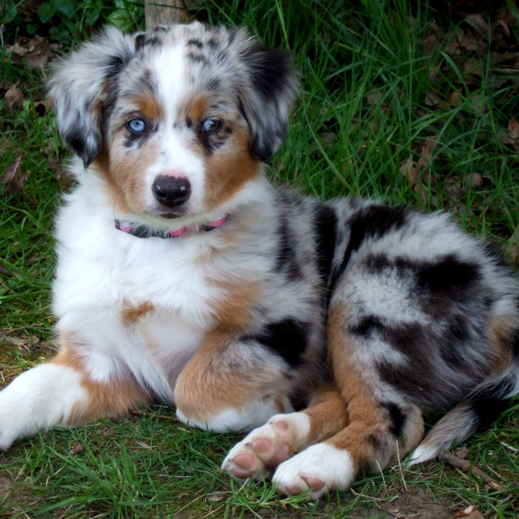 Purchase Miniature American Shepherd Breeders Near Me Up To 60 Off