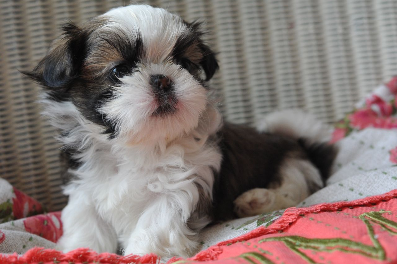miniature shih tzu full grown chinese imperial dog info temperament puppies pictures 3964