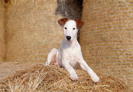 smooth fox terrier breeders smooth fox terrier info puppies temperament history 7464