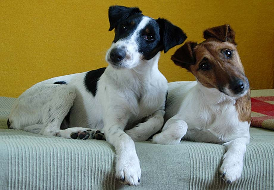 Smooth Fox Terrier Info, Puppies, Temperament, History, Pictures