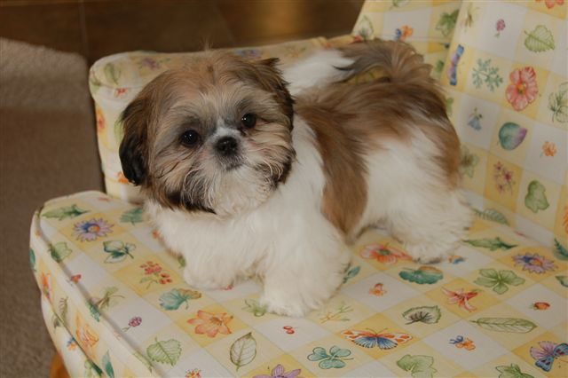 miniature shih tzu full grown chinese imperial dog info temperament puppies pictures 3609