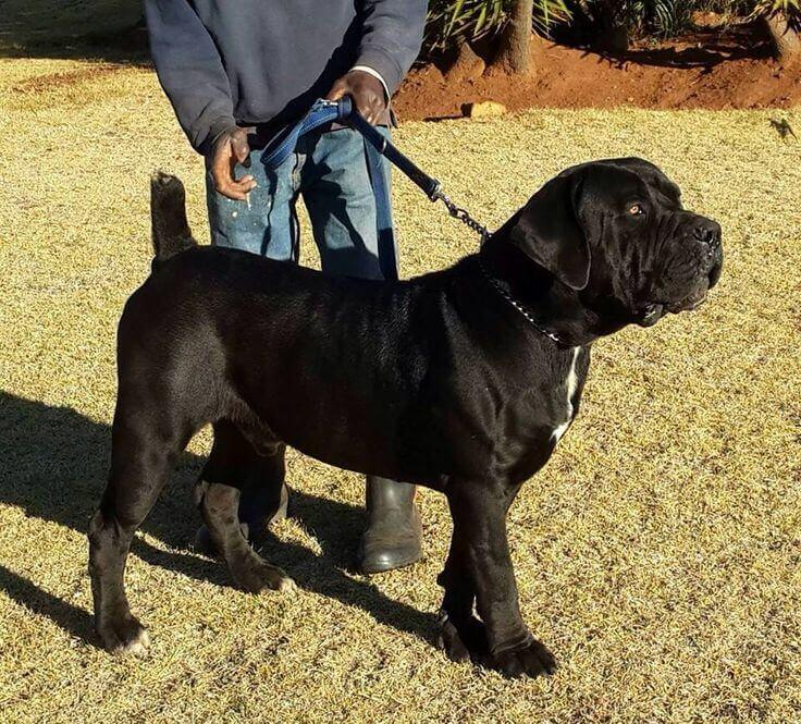 Trained Guard Dogs For Sale South Africa