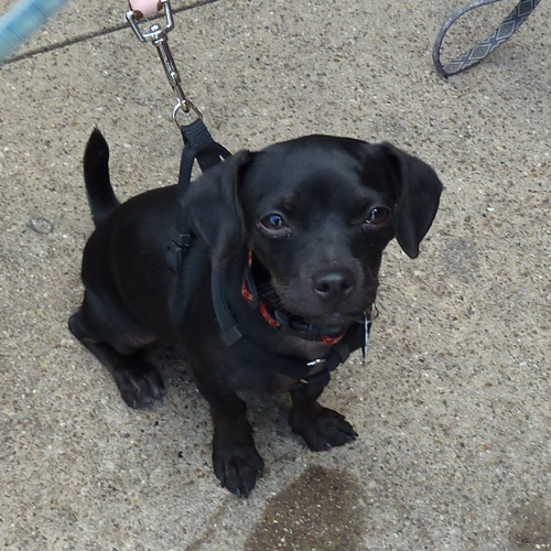 Daug Dachshund Pug Mix Info Temperament Puppies Pictures